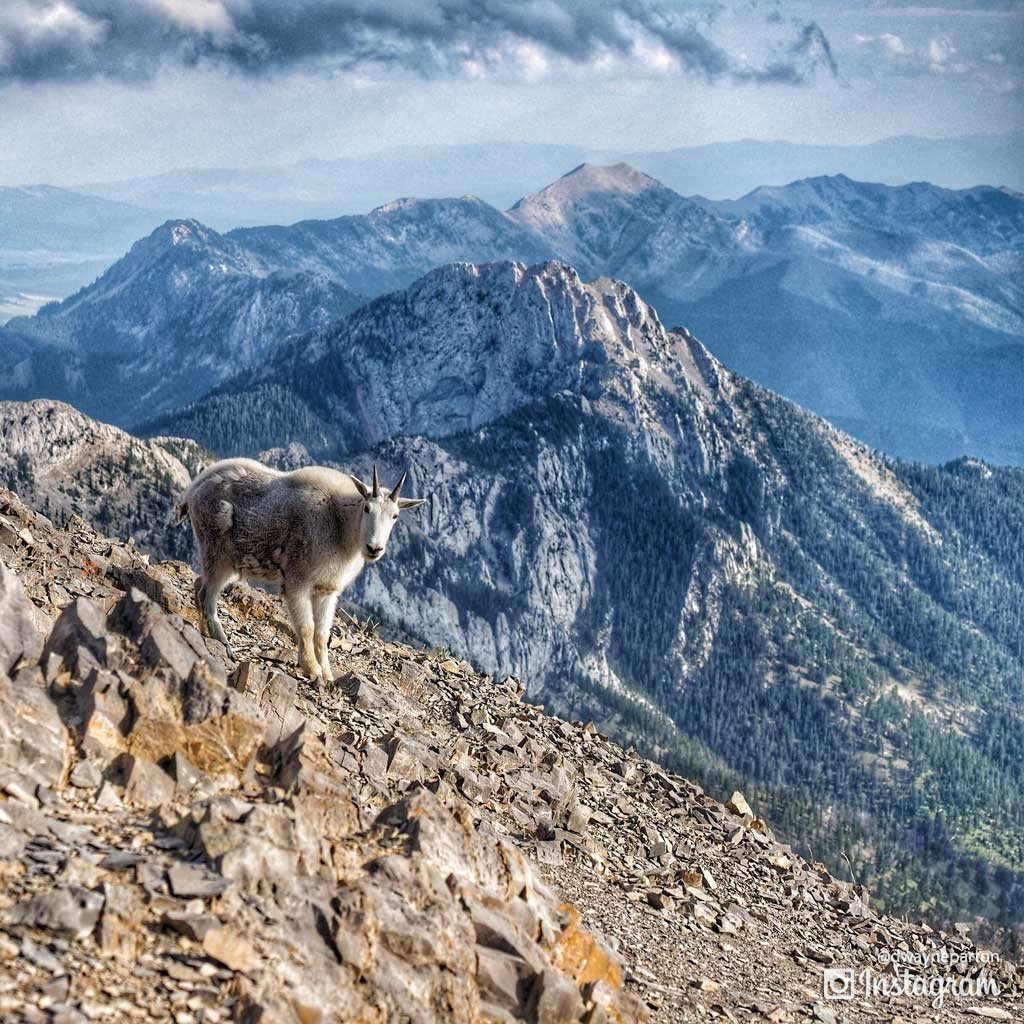 mountain_goats_sacajawea_peak_3