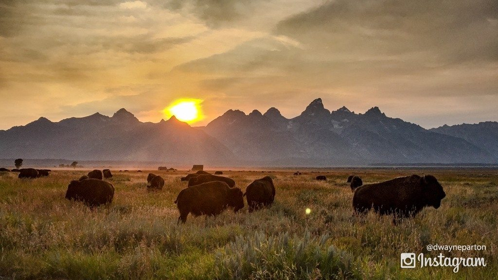 buffalo_in_the_grand_tetons