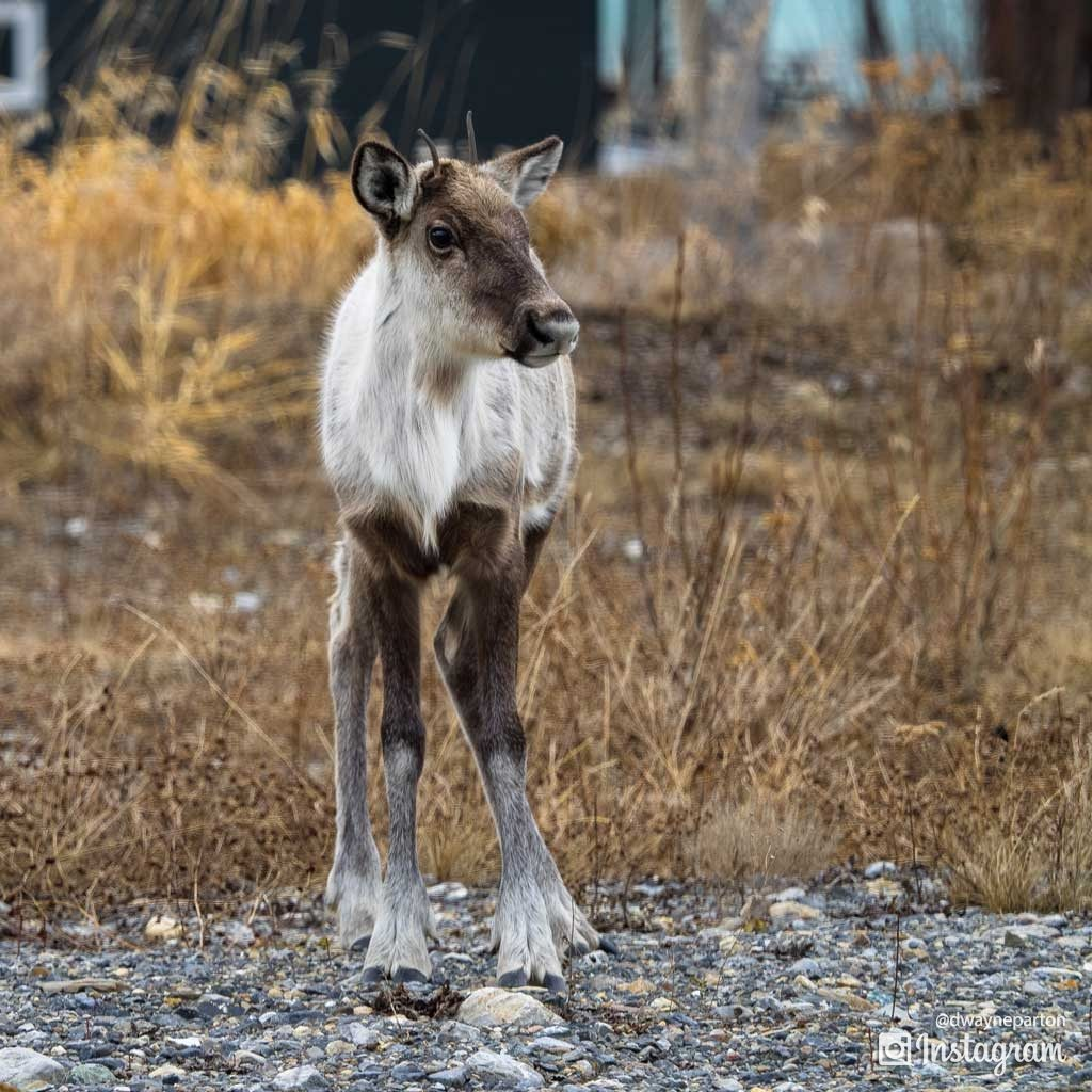baby_caribou_at_muncho_lake_canada
