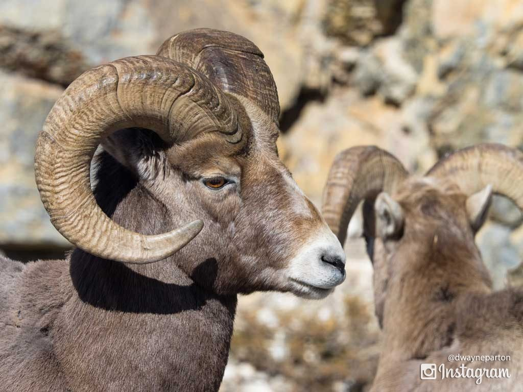 bighorn_sheep_in_jasper