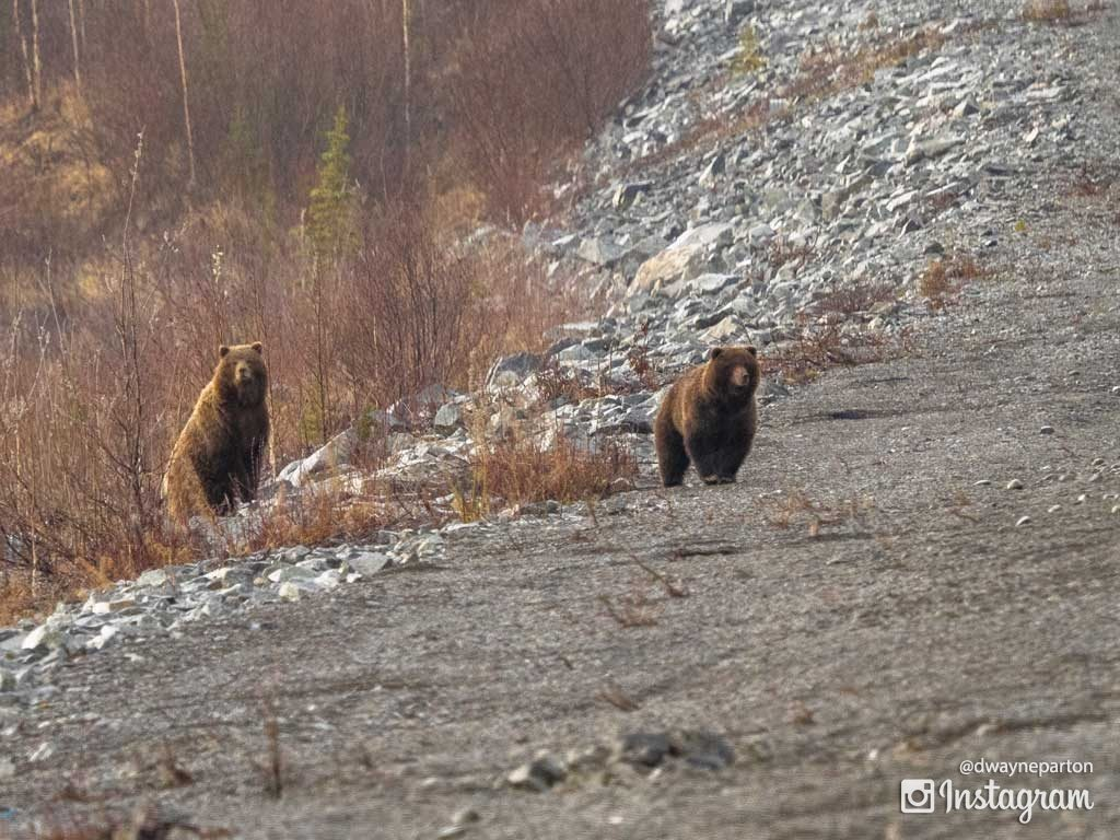 grizzleys_on_the_alaskan_highway