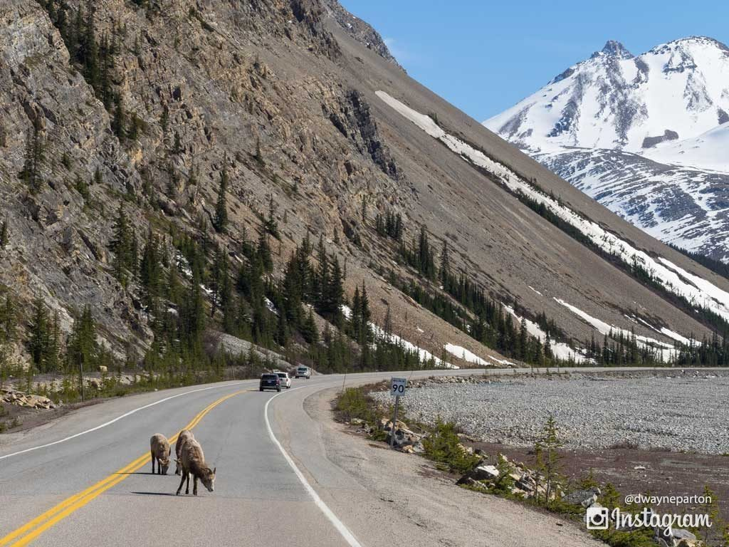 sheep_in_the_road_jasper_national_park